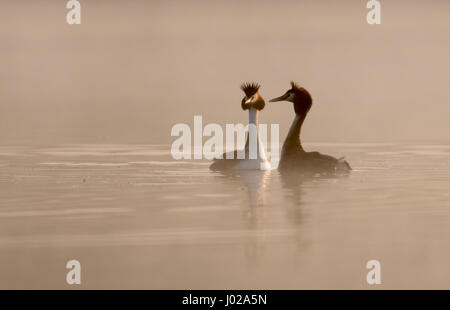 A pair of Great Crested Grebes (Podiceps cristatus) begin their courtship display in the dawn mist, Warwickshire - Stock Photo