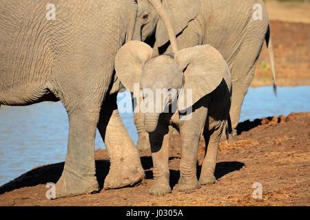 A cute baby African elephant (Loxodonta africana), Addo Elephant National Park, South Africa - Stock Photo