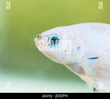 Betta Splendens White Dragon Male Fish Close-up - Stock Photo