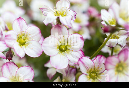 Macro close up of the flowers and blooms of Saxifraga bedding plant with white petals with a pink edging - Stock Photo