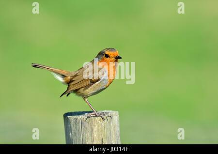 European Robin (Erithacus rubecula) perching on a fence post. Kent, April - Stock Photo