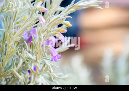 silky eremophila nivea - Stock Photo