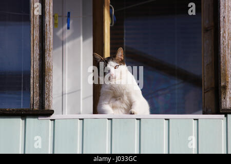 A white fat cat sits on a balcony in the spring and beholds passers-by from there - Stock Photo