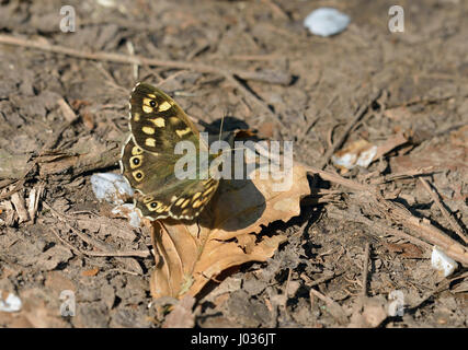 Speckled Wood Butterfly - Pararge aegeria on Beech leaf litter - Stock Photo