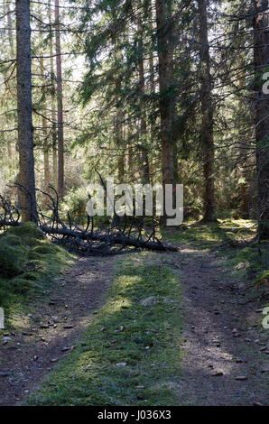 Fallen tree blocking a forest road - Stock Photo