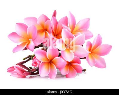 Pink Plumeria flowers isolated on white background. - Stock Photo