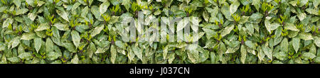 Spotted laurel bush hedge with new growth long horizontal background - Stock Photo