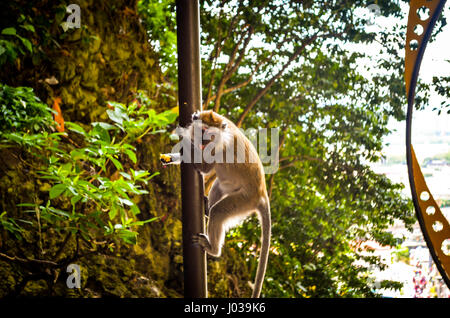 Macaque monkey in sunlight, malaysia - Stock Photo