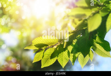 Green leaves on a branch with the sun in the background, shallow focus for pleasant  bokeh and copy space - Stock Photo