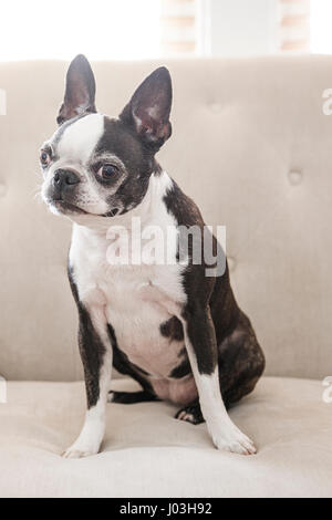 A cute Boston terrier sits on a white couch - Stock Photo