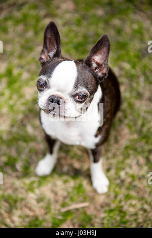 A cute Boston terrier sits on the grass. - Stock Photo