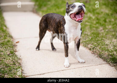 A cute small Boston terrier standing on the walkway of a house and panting. - Stock Photo