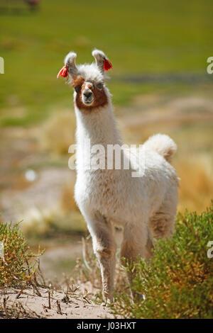 Llama (Lama glama), Jujuy Province, Argentina - Stock Photo