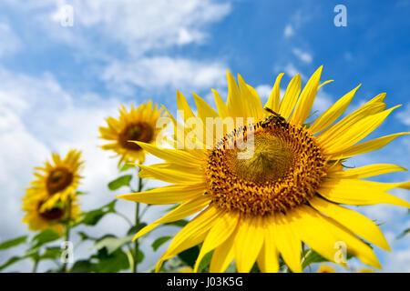 Sunflower and bee - Stock Photo