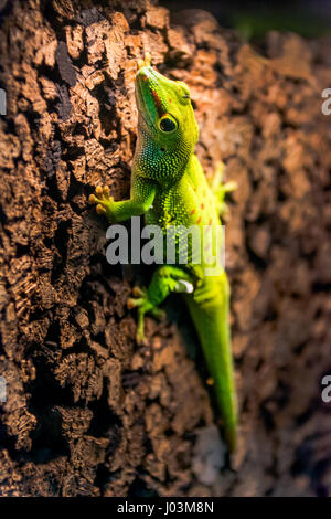 green gecko running on a cork wall - Stock Photo