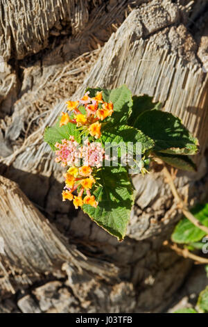 Colourful Wild Sage flowers against the bark of a palm tree - Stock Photo