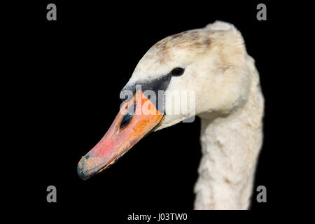 Close up head of a White Mute Swan (Cygnus olor) on a black background. - Stock Photo