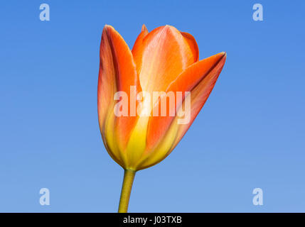 Closeup of an orange and yellow single tulip (Tulipa) flower in full bloom in Spring, in the UK, against blue sky. - Stock Photo