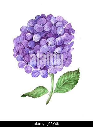 Lilac hydrangea flowers isolated on white background. - Stock Photo