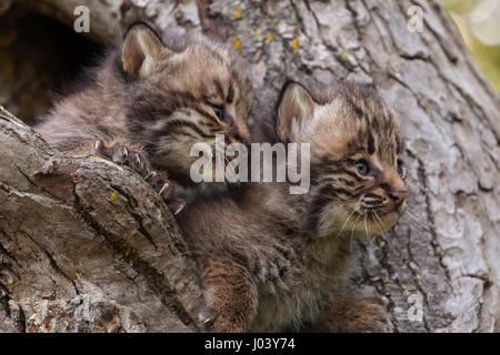 Bobcat, Lynx, predator, North American mammal of cat ...