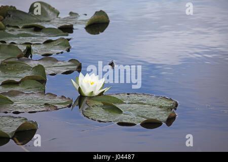 White water-lily Nymphaea alba - Stock Photo