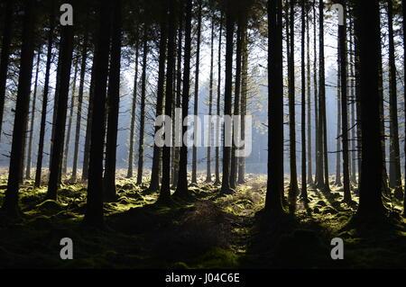 Sunlight shining through Fernworthy Forest in Dartmoor, Devon - Stock Photo