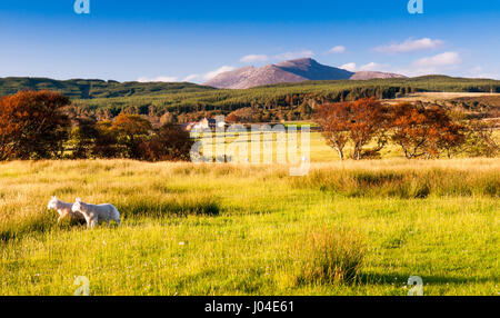 A pair of lambs graze on pastures on Machrie Moor, with a backdrop of forests and Goatfell Mountain, on Scotland's - Stock Photo
