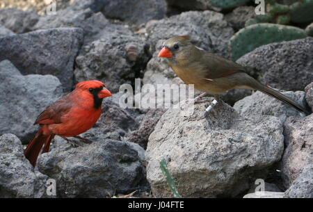 Male and female Northern or Red Cardinal (Cardinalis cardinalis) - Stock Photo