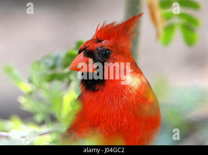 Extreme closeup of a Male Northern or Red Cardinal (Cardinalis cardinalis) - Stock Photo