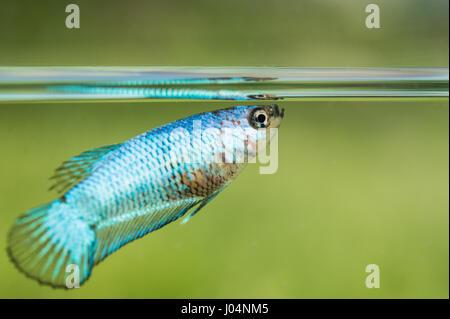 Young Betta Splendens Female Fish - Stock Photo