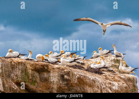 Black Reef Gannet Colony, Cape Kidnappers, Hawkes Bay, New Zealand. - Stock Photo