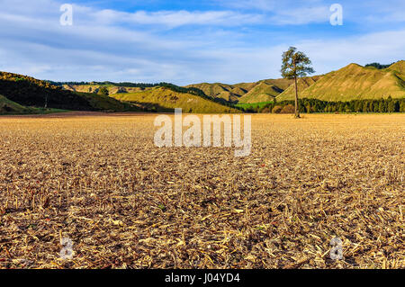Field with a lonely tree in the Whanganui National Park, North Island of New Zealand - Stock Photo