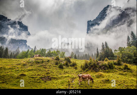 Beautiful view of cows grazing in idyllic alpine mountain scenery with high mountain peaks covered in fog on a scenic - Stock Photo