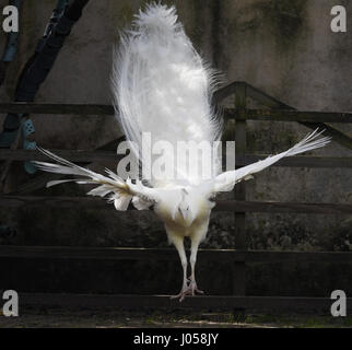 Seligenstadt, Germany. 10th Apr, 2017. A white peacock jumps from a railing in a cage of the former Benedictine - Stock Photo