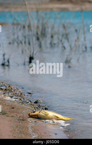 Lake Mead, Nevada, USA. 12th June, 2013. A dead carp lies along the shoreline at Stewarts Point in the Lake Mead - Stock Photo