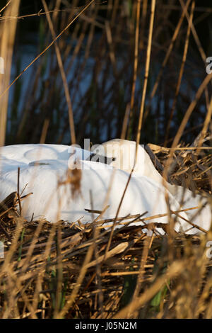 Mute swan sitting on nest in reeds. Unsharpened - Stock Photo