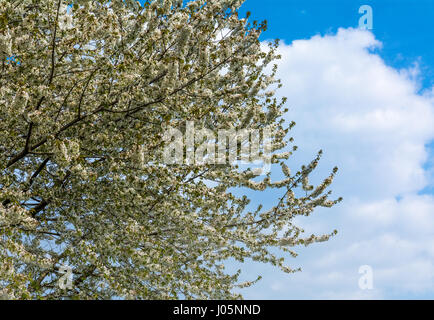 cherry tree in blossom with white flowers on blue sky. - Stock Photo