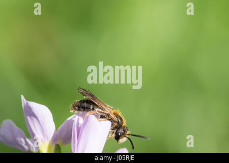 Close up of a honey bee (Apis mellifera) sitting on a flower with much space as background for text. - Stock Photo