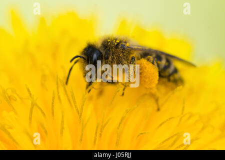 Close up on a honey bee (Apis mellifera) collecting pollen from a dandelion (taraxacum officinale) - Stock Photo