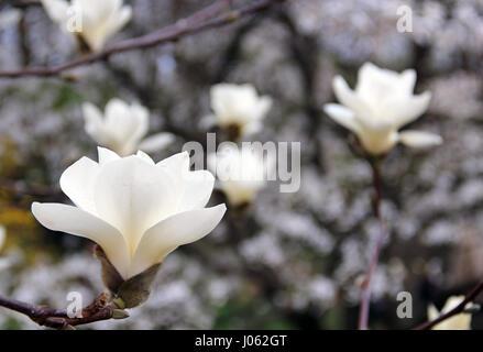 White magnolia tree in blossom - Stock Photo