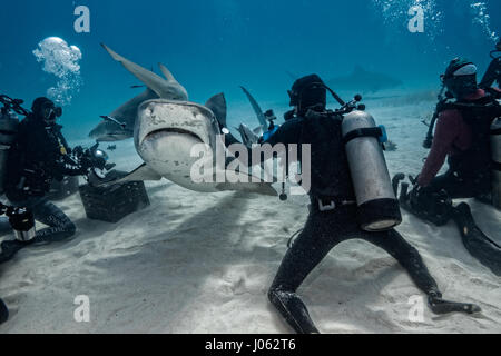 TIGER BEACH, GRAND BAHAMA: INCREDIBLE underwater images show the moment a group of divers came face-to-face with - Stock Photo