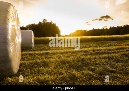 Barley field in golden glow of evening sun with silage rolls - Stock Photo