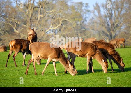 Herd of red deers (Cervus elaphus) grazing in the New Forest, Hampshire, UK - Stock Photo