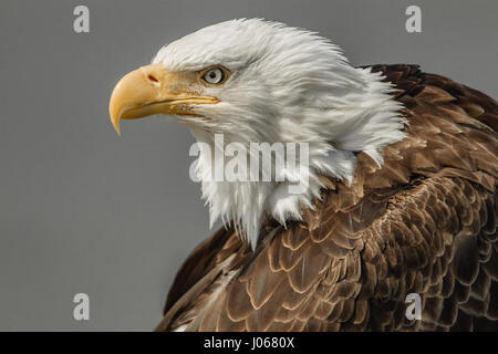 HALIBUT BEACH, ALASKA: Side angle shot of the bald eagle looking left. THE MOMENT a bald eagle gave its best blue - Stock Photo