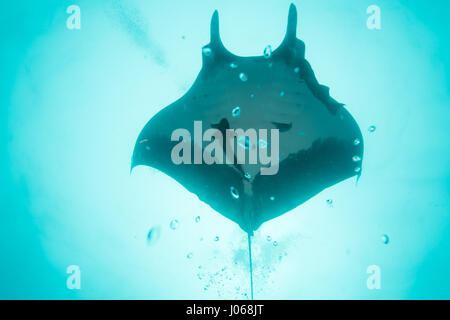 ROCA PARTIDA, MEXICO: The Giant manta ray swimming through the ocean. SPECTACULAR underwater images of a SIXTEEN - Stock Photo