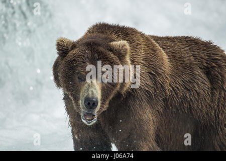 EXPLOSIVE pictures by a British photographer show a hungry brown bear feasting on the peak number of salmon now - Stock Photo