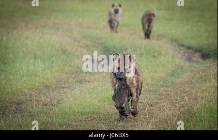 MAASAI MARA NATIONAL RESERVE, KENYA: RARE footage of a headhunting hyena proudly running off with the trophy head - Stock Photo