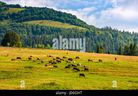 few cows grazing on hillside meadow. fence on rural fields near the forest. beautiful countryside summer landscape - Stock Photo