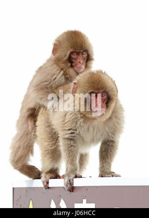 Japanese Macaque (Macaca fuscata) 'Snow Monkey' two juveniles playing  Jigokudani Monkey Park, Shigakogen, Nagano - Stock Photo