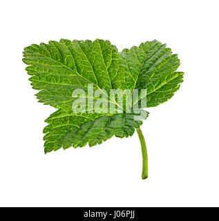 Currant leaf isolated on white background Clipping Path - Stock Photo